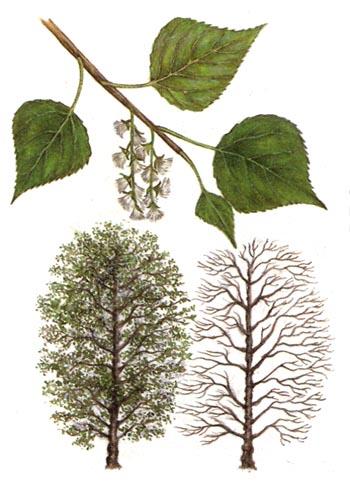 Сок листьев черного тополя от шума в ушах