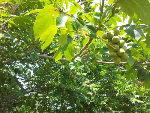 Сок свежих листьев грецкого ореха от боли в ушах